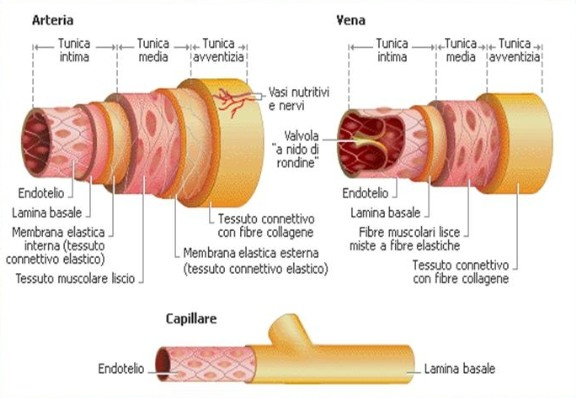 endotelio vena